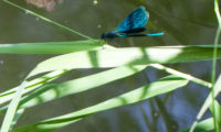 Dragonflies on the river Rozhayka