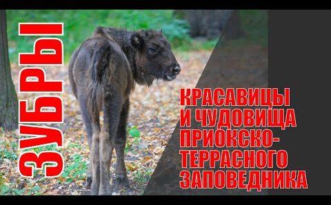 Зубры и бизоны Приокского террасного заповедника